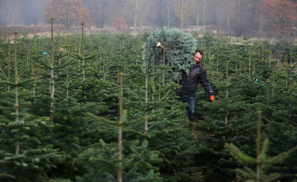 Farmer Andrew d'Angibau carries a freshly harvested Christmas tree through a Christmas tree field at Wick Farm in Colchester, Britain