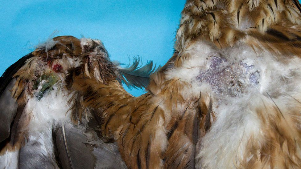 Red kite's wounds on its wing