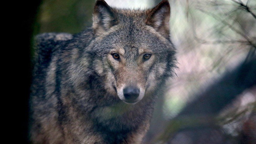 File image of a European grey wolf