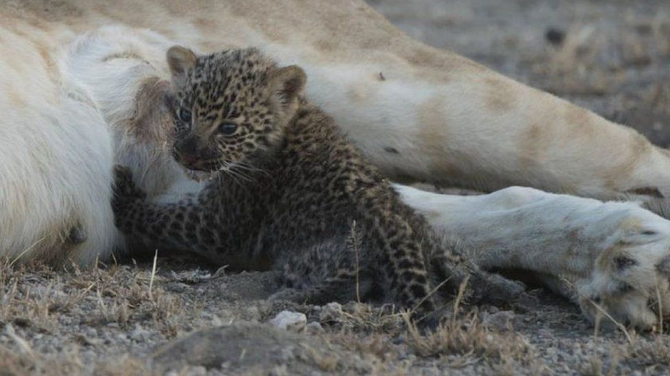 The leopard cub turns to face the camera between nursing