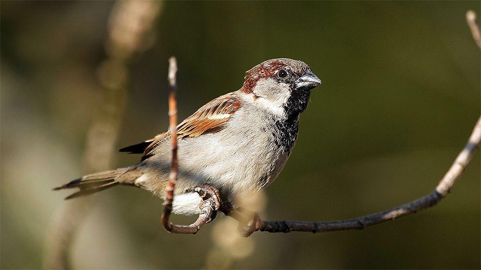A House Sparrow
