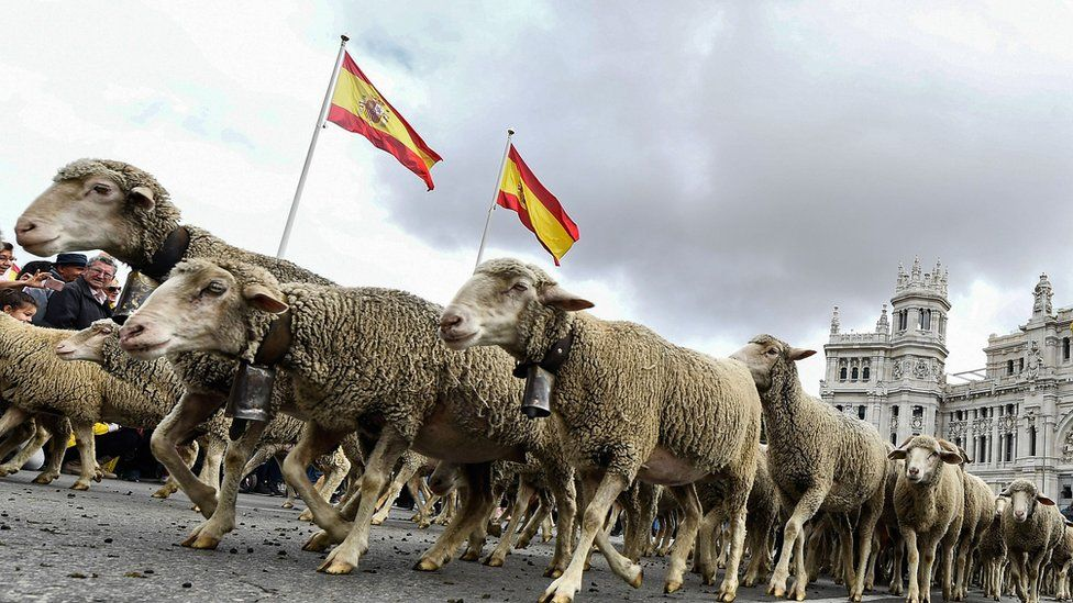 Flocks of sheep and goats are herded in the city centre of Madrid on October 20,