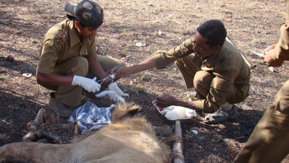Rasila Vadher treating an injured lion