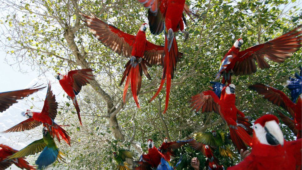 Macaws being released into the Yucatan forest