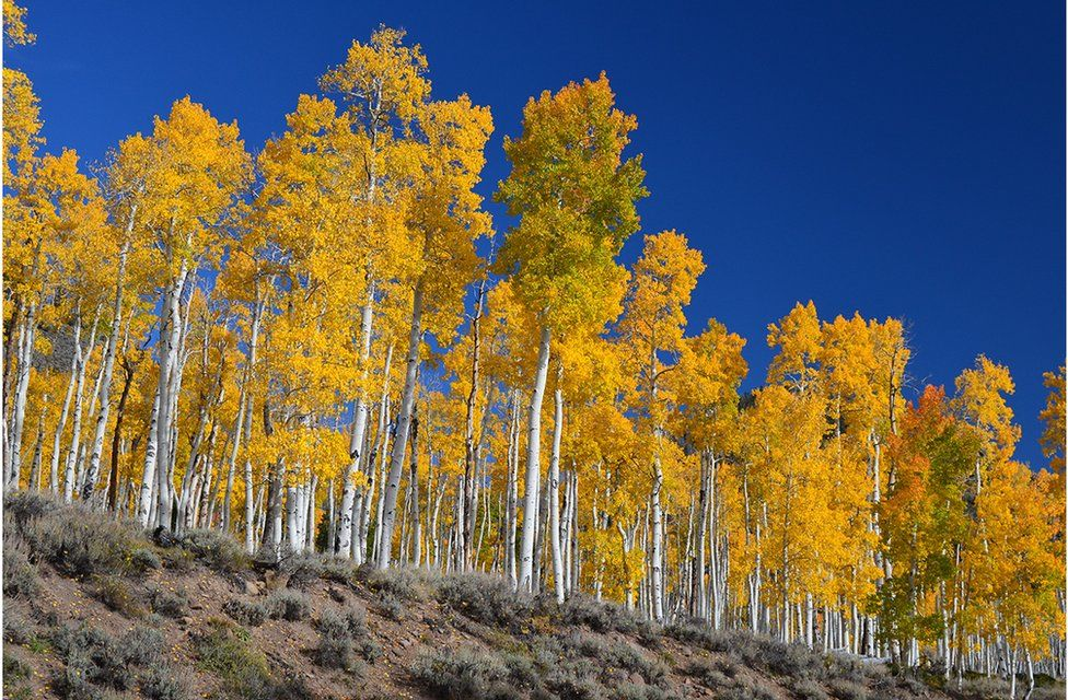 """""""Pando"""" and is located in the Fishlake National Forest north of Bryce Canyon National Park in central Utah"""