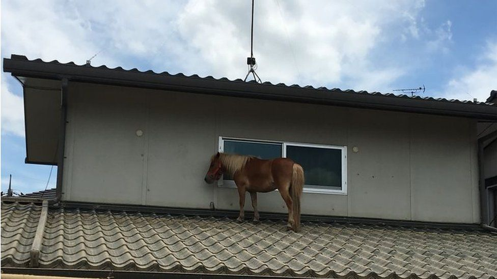 This handout picture taken on July 9, 2018 by the NGO Peace Winds Japan shows a miniature horse stranded on a rooftop due to the recent flooding in the Mabicho area in Kurashiki, Okayama prefecture.