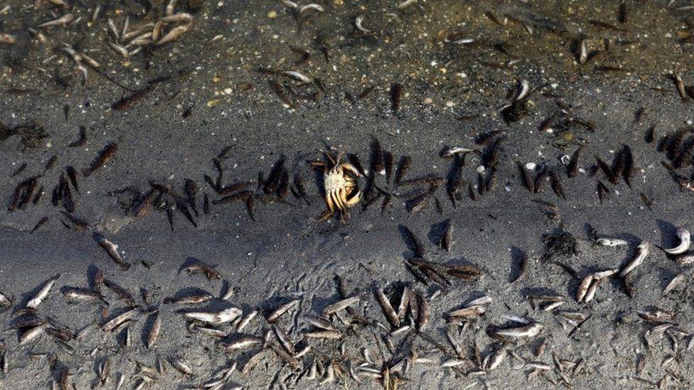 Dead fish appear on the beaches of La Manga del Mar Menor, Murcia