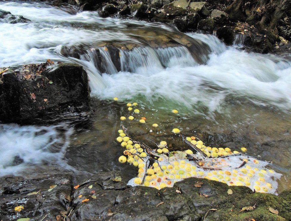Apples floating in water