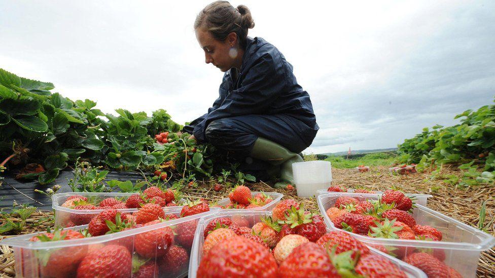 Strawberry picker in England