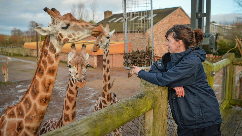 You can watch Sarah, the team manager of giraffes, as she cares for Chester Zoo's critically endangered Rothschild giraffe