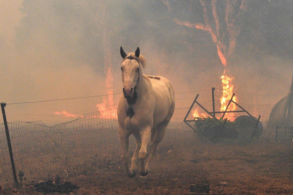 A horse tries to move away from nearby bushfires