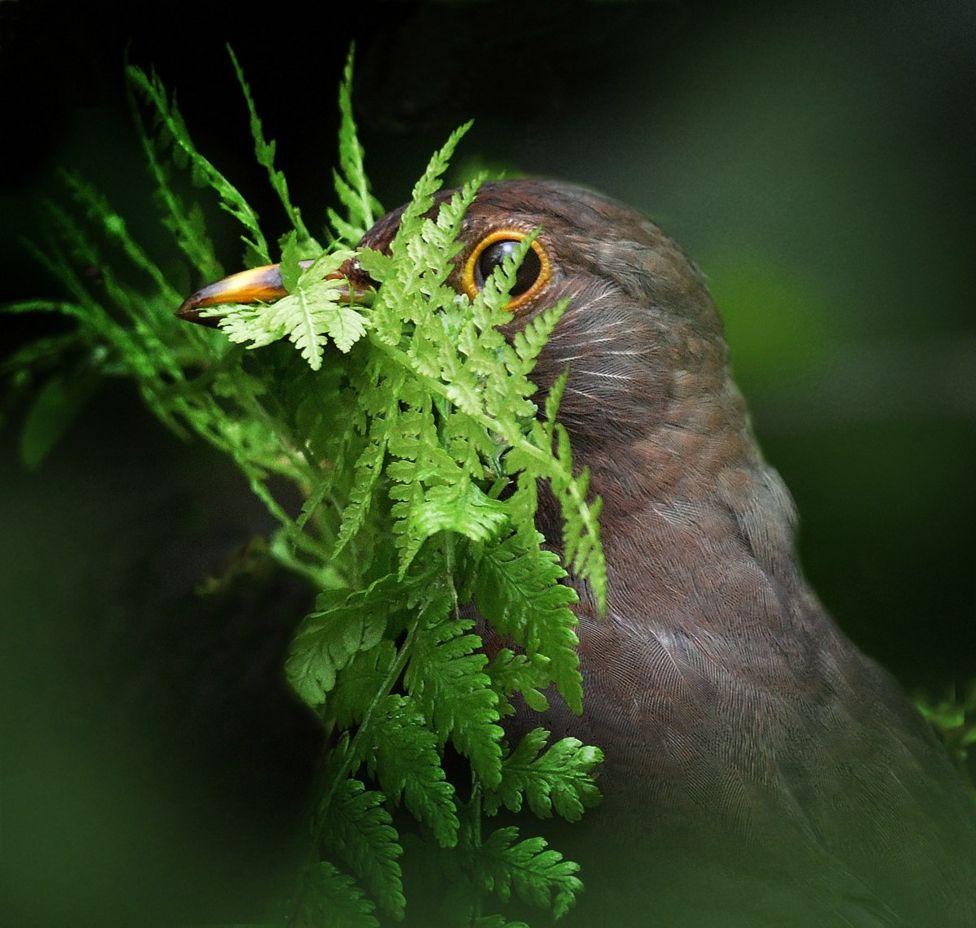 Mirlo con hojas verdes en el pico