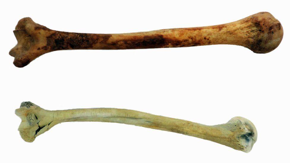 burned and unburned humerus bones
