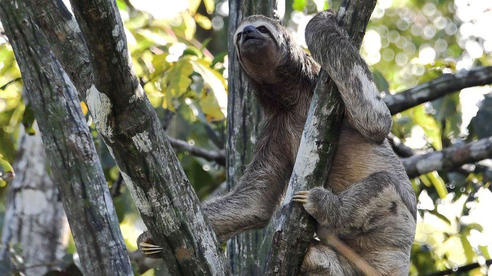 A brown-throated sloth (Bradypus variegatus)is pictured climbed on a tree over the Jaraua River at the Mamiraua Reserve, Brazil's largest protected area, in Amazonas State, on April 24, 2019