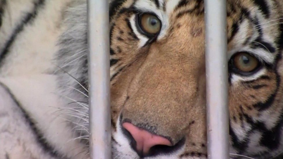 The Houston tiger pictured in a container before heading to a sanctuary