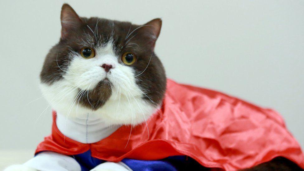 A cat in a Superman costume