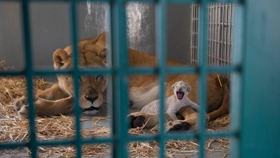 Dana the lioness lies next to her cub Hajar at the Al-Mawa wildlife reserve in Jordan (13 August 2017)