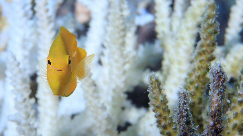 A fish swims around healthy coral on the Great Barrier Reef