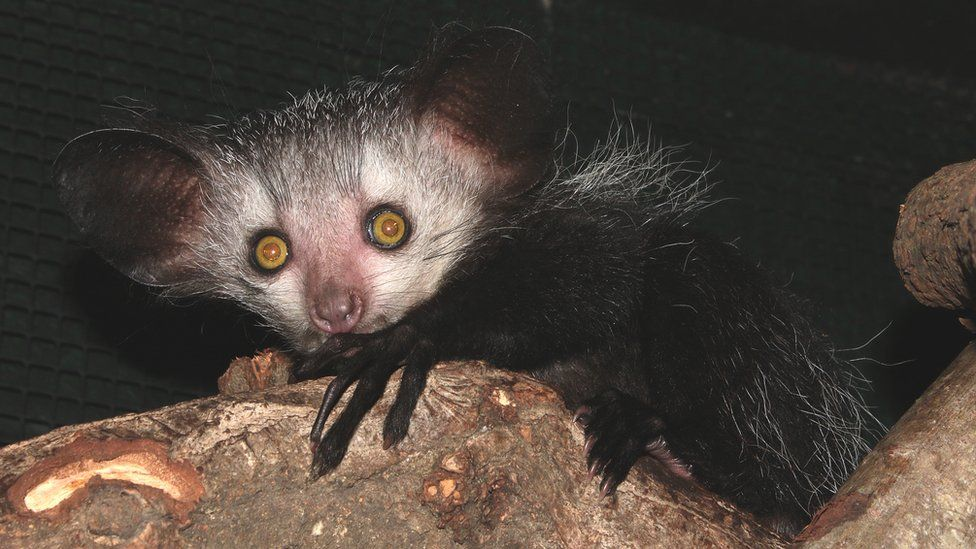 The Aye-aye, a nocturnal lemur with big eyes and slender fingers.