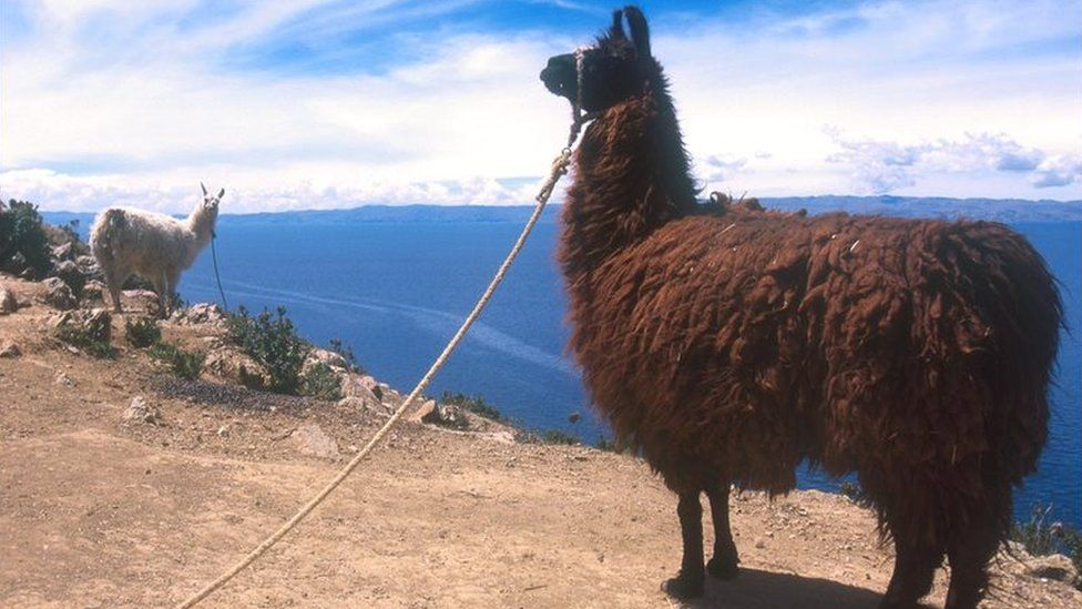 Two llamas on a cliff over a body of water
