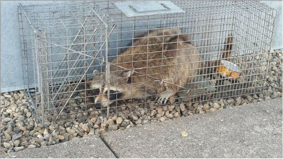 Raccoon in metal cage