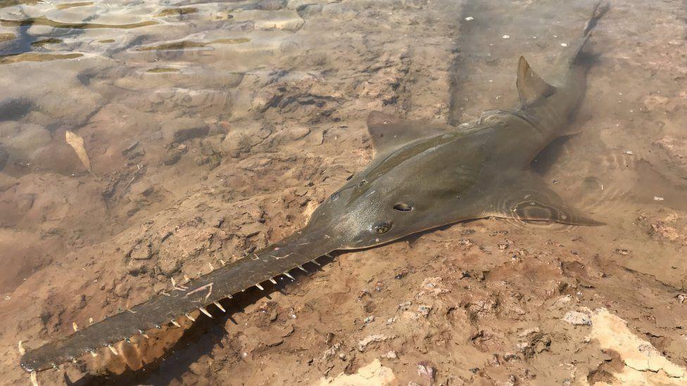 Largetoothed sawfish, Australia
