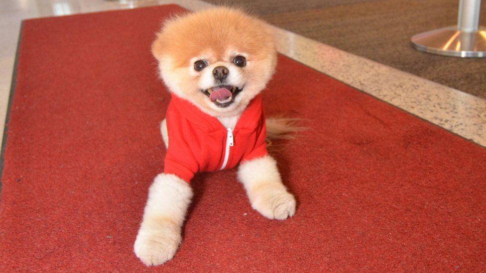 Boo the Pomeranian
