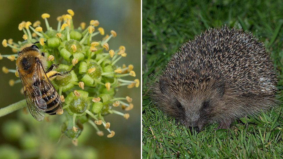 Ivy bee; hedgehog