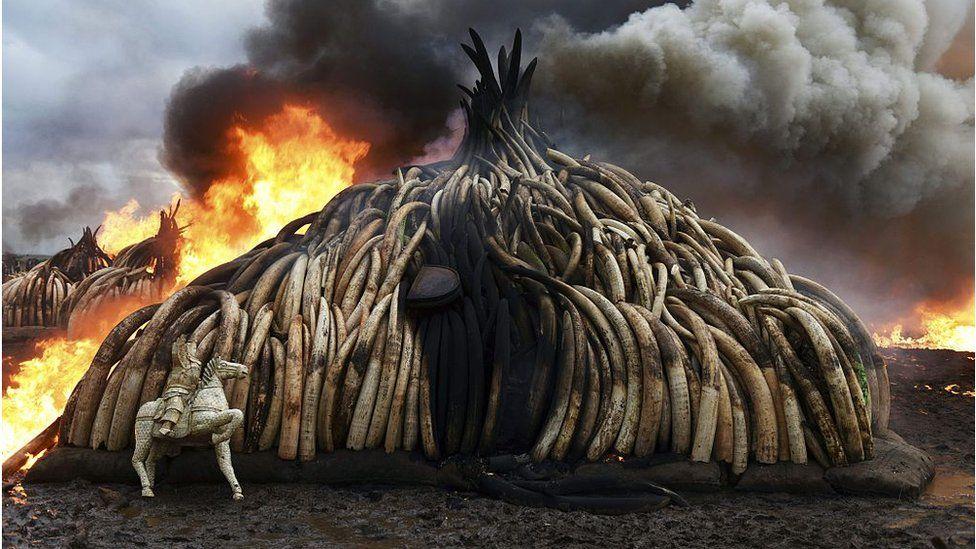 Stack of burning elephant tusks, ivory figurines and rhinoceros horns at the Nairobi National Park