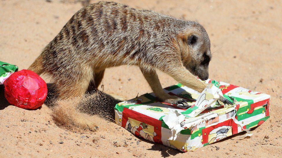 A meerkat unwraps a Christmas present.