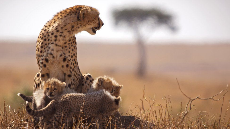 A cheetah and her cubs in the Maasai Mara Game Reserve
