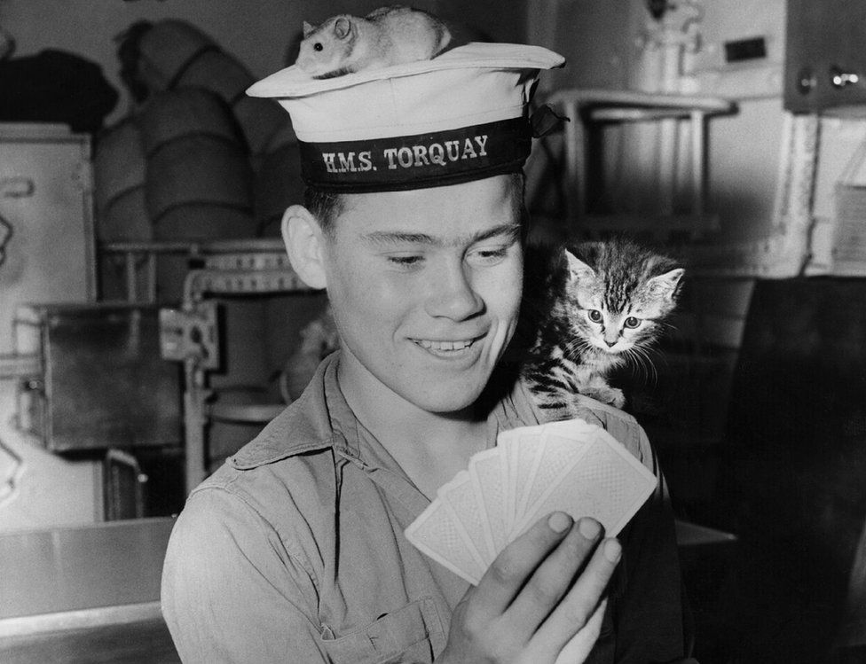 27th July 1956: Junior seaman Trevor Grunkhurn plays cards with the help of the ship's pets, Joey the golden hamster, and Smew the kitten. They are aboard the HMS 'Torquay', one of the new class of Anti-Submarine Frigates.