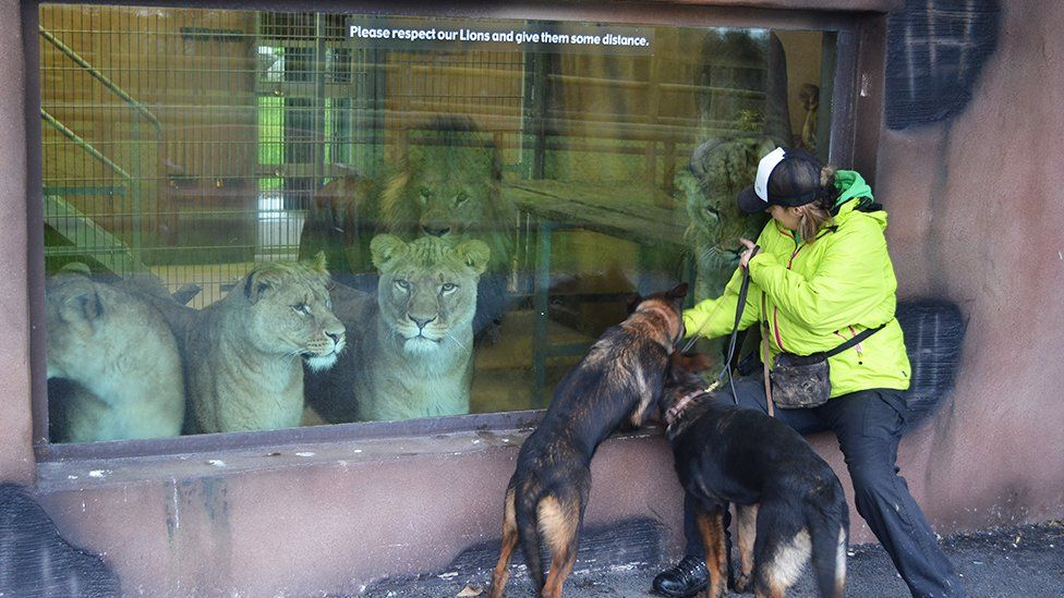 Dogs being shown to lions in a zoo