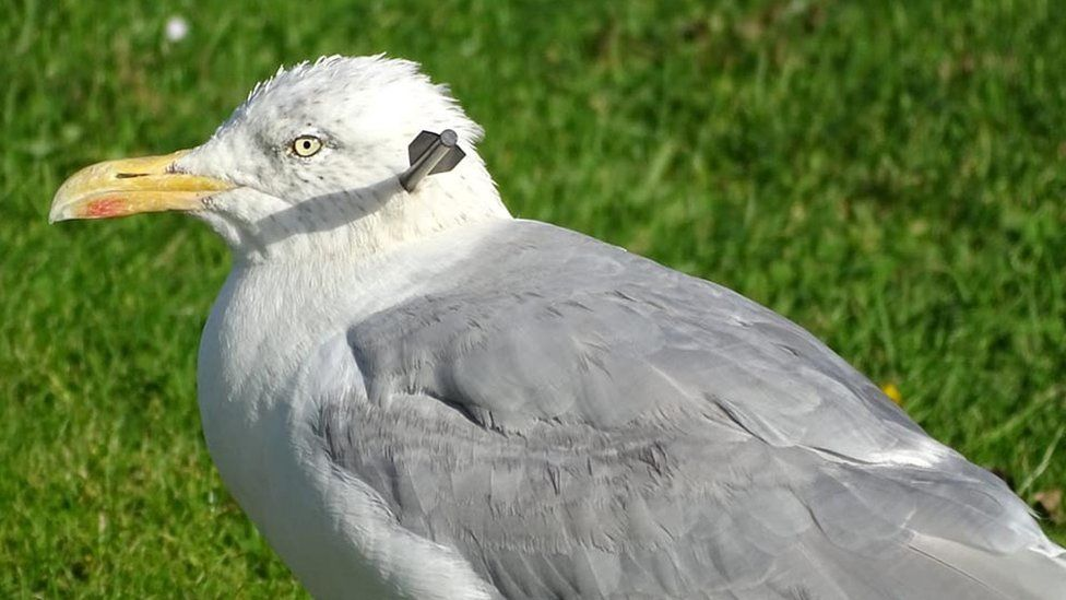 Injured seagull photographed with arrow embedded in head in Elgin
