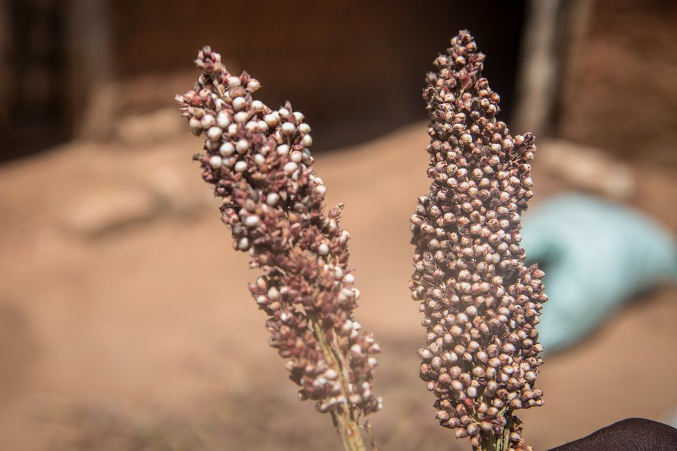 Two stalks of sorghum seeds