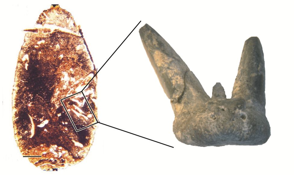 Coprolite section and example tooth