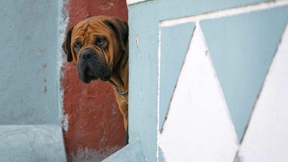 A dog peering out of a door in Bo-Kaap, Cape Town, South Africa - Tuesday 7 April 2020