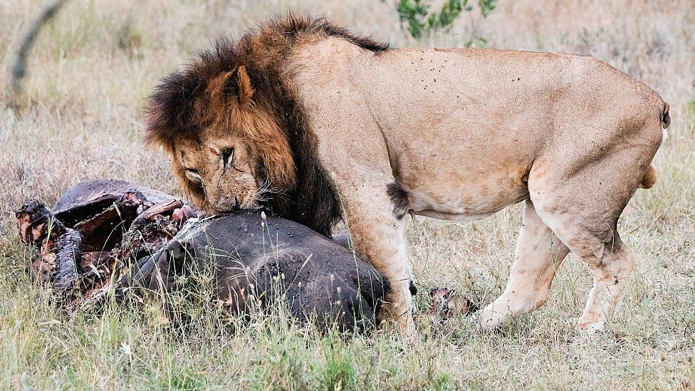 A lion feasts on the carcass of a rhinoceros in Kenya