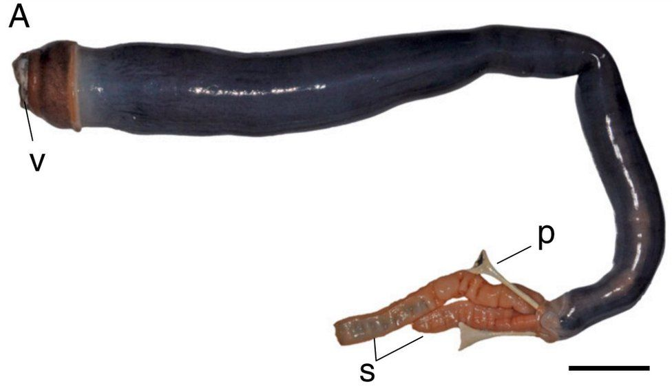 Picture of the Philippine giant shipworm