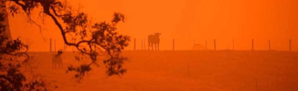 Cattle against a red sky in Australia fires