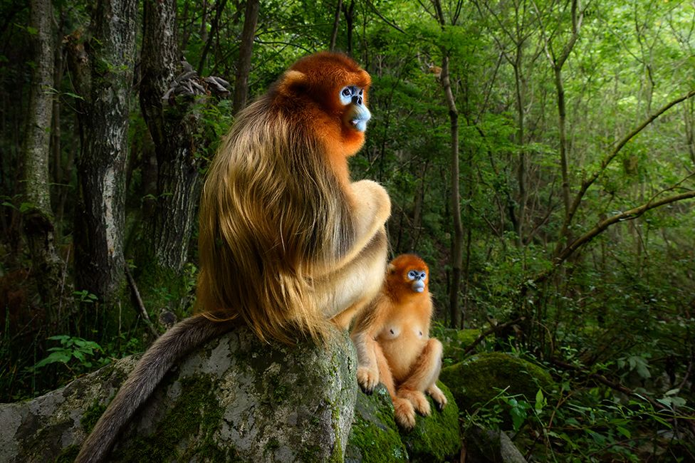 Qinling golden snub-nosed monkeys