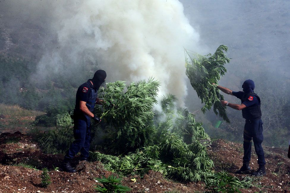 Police burn cannabis in village of Kurvelesh (Aug 2015)
