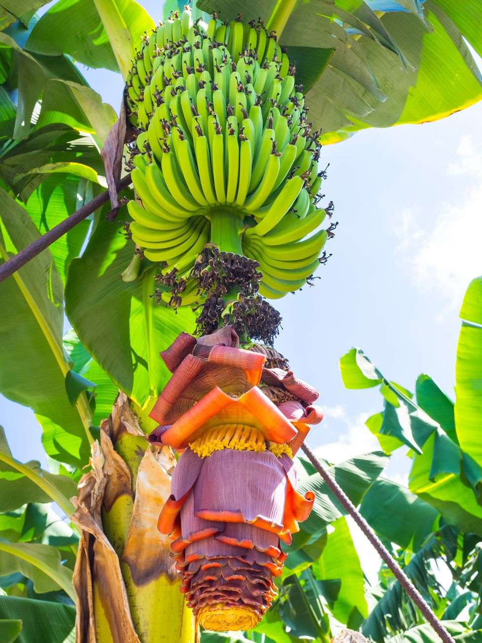 Bananas growing on a tree