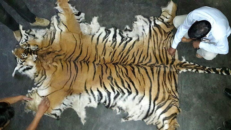 A tiger skin seized in Uttarakhand in northern India in May 2016