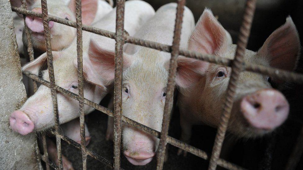 Pigs are seen in a hog pen in a village in Linquan county in central China's Anhui province Friday, Aug. 31, 2018. An outbreak of African swine fever was reported in Nanling county in Anhui, the fifth this month in China. (Photo credit should read Feature China / Barcroft Images / Barcroft Media via Getty Images)