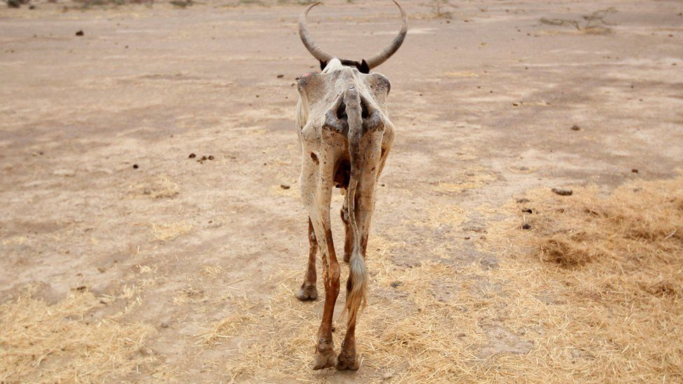 An emaciated cow walks in an open field in Gelcha village, one of the drought stricken areas of Oromia region, in Ethiopia, in 2016
