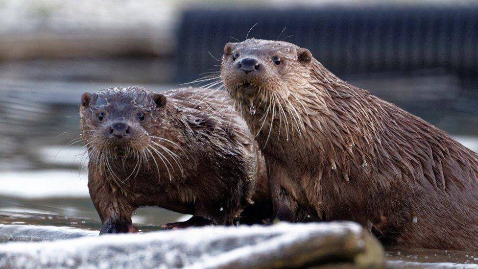 Otters Gribun and Rush