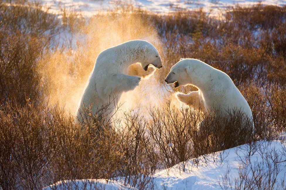 """Fire Bears"" photographed in November 2014 at dawn in the tundra at Hudson Bay near Churchill, Manitoba, Canada"