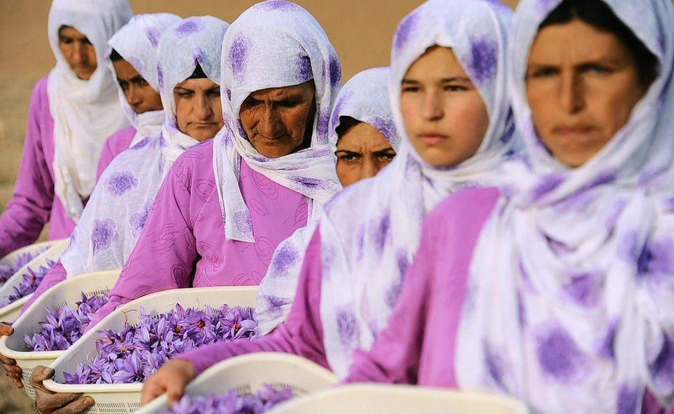Afghan workers carry picked saffron flowers to be delivered to a farmer in the Ghoriyan District of Herat