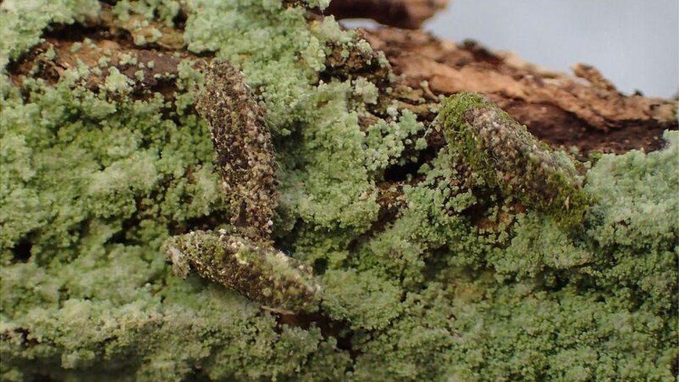 camouflage moth caterpillar